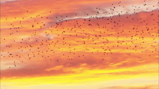 Flock of starlings (Sturnus vulgaris) flies at sunset, Conwy, Wales, UK