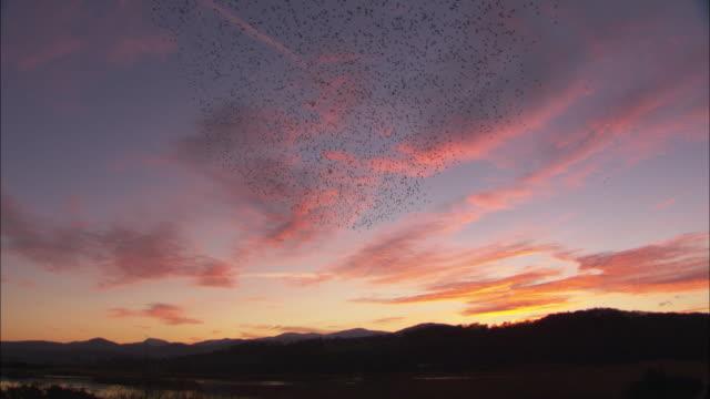 vidéos et rushes de flock of starlings (sturnus vulgaris) flies at sunset, conwy, wales, uk - etourneaux