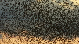Flock of starlings flying at sunset against the sky