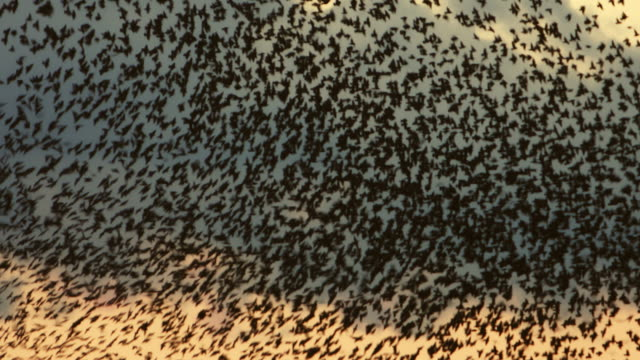 vídeos de stock e filmes b-roll de flock of starlings flying at sunset against the sky - coordenação