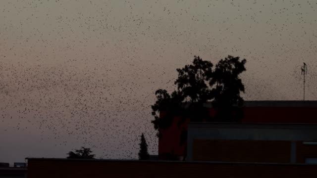 Zwerm spreeuwen in de hemel van Rome