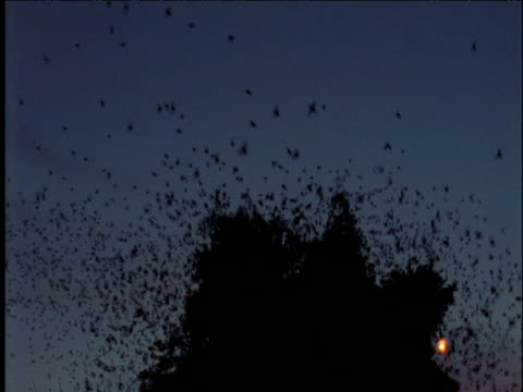 Flock of starlings take off from roost