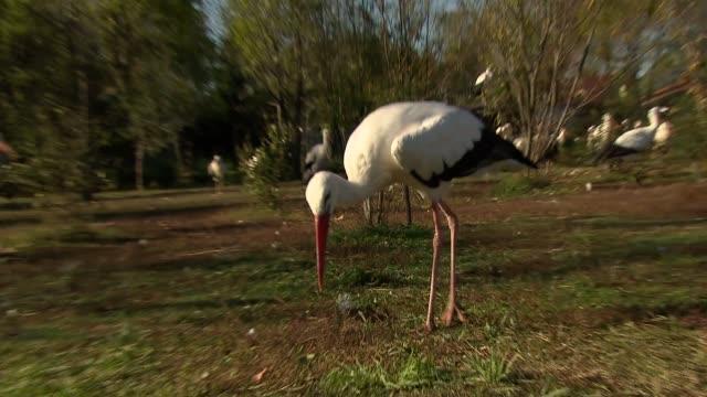 stockvideo's en b-roll-footage met flock of storks - dierlijke mond