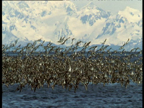 "vidéos et rushes de flock of surfbirds and black turnstones wheel and swoop in sky, montague island, alaska - ""bbc natural history"""