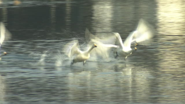 a flock of swans flying off, nagano, japan - cigno video stock e b–roll