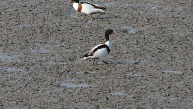 vidéos et rushes de flock of tadorna tadornas searching prey on the mud flat at the western sea - petit groupe d'animaux