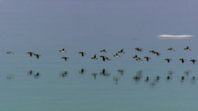 WS PAN Flock of Thick-billed Murre (Uria lomvia) flying over sea, Lancaster Sound, Nunavut, Canada