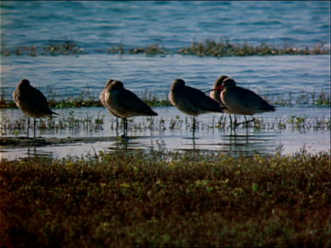 a flock of water birds gathers at the edge of a river. - wasserpflanze stock-videos und b-roll-filmmaterial