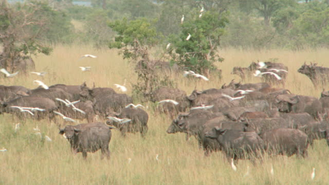 a flock of white birds fly around a herd of african buffalo. - wild cattle stock videos & royalty-free footage