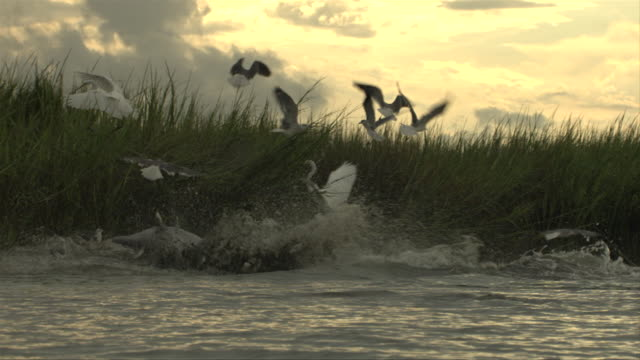 a flock of white cranes rise as dolphins rush in to a beach to feed. - cetacea video stock e b–roll