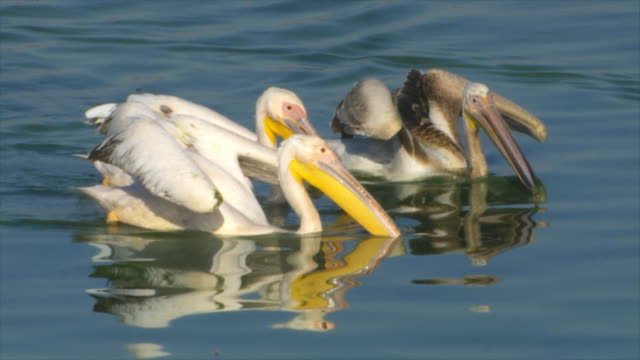 vídeos de stock e filmes b-roll de ms slo mo flock of white pelicans swimming and searching for fish and feeding in fishpond water / tiberias upper, galilee, israel - pelicano