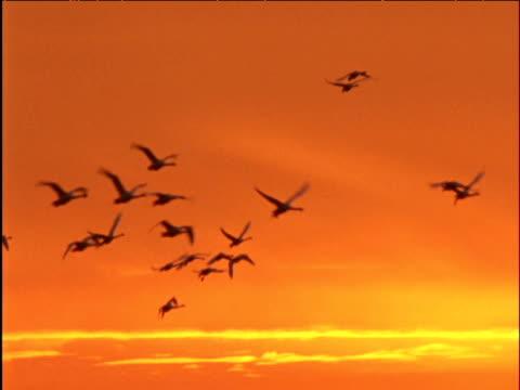 flock of whooper swans flies in orange sky at sunset - orange colour stock videos & royalty-free footage