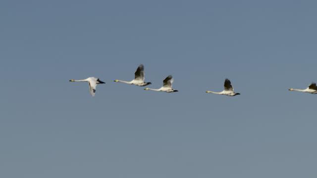 flock of whooper swans flying, hokkaido, japan. - flock of birds stock videos & royalty-free footage