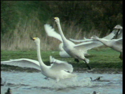 flock of whooper swans glide towards river and land on water feet first wings outstretched, scotland - swan stock videos & royalty-free footage
