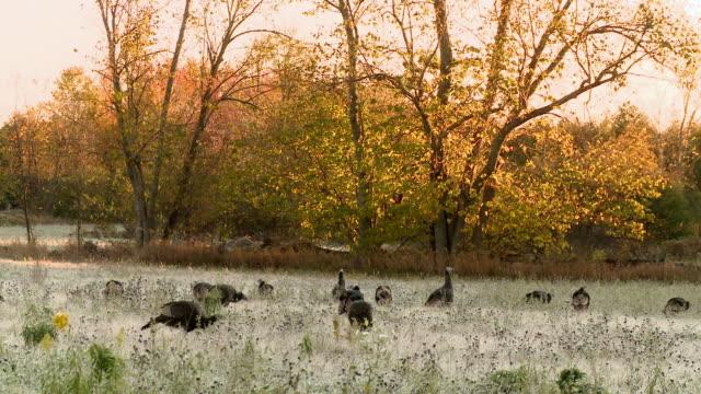 MS PAN Flock of wild turkeys grazing in meadow at sunrise / Tweed, Ontario, Canada