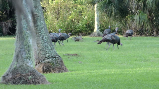 flock of wild turkeys - turkey stock videos and b-roll footage