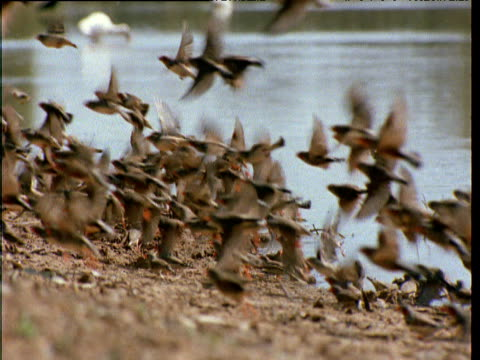flock of zebra finches are frightened away as they gather by waterhole, northern territory, australia - waterhole stock videos & royalty-free footage