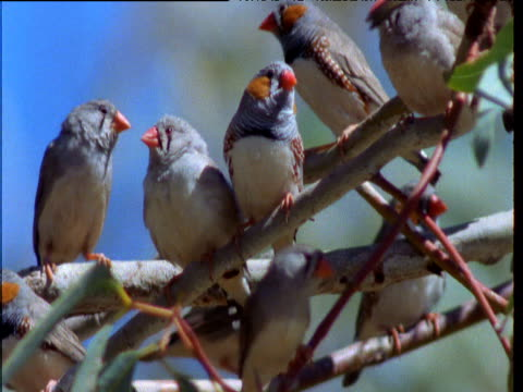 stockvideo's en b-roll-footage met flock of zebra finches perches in tree, northern territory, australia - plant attribute