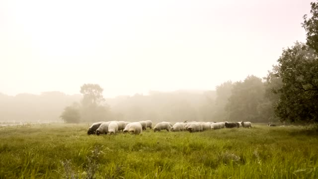 flock with many sheep in holland, one early foggy day - sheep stock videos & royalty-free footage