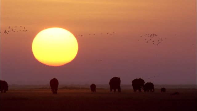 Flocks of birds fly over herd of elephants silhouetted by sun setting over savannah Available in HD.