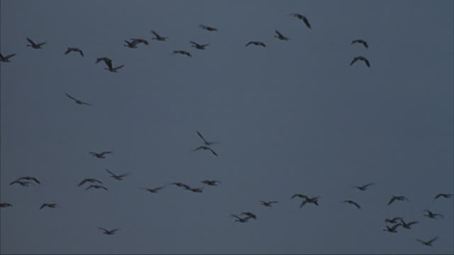 flocks of geese fly in formation across the sky. - birds flying in v formation stock videos and b-roll footage