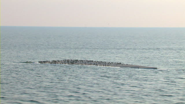 Flocks of pelicans gather on a small sandbar off the Mississippi coast.