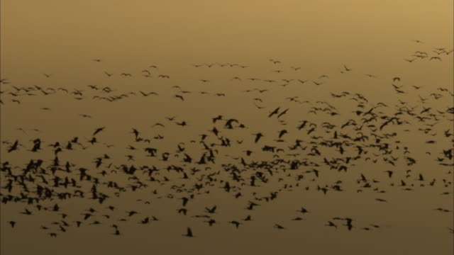 vidéos et rushes de flocks of sandhill cranes swarm in a gray sky. - crépuscule