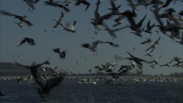 flocks of snow geese become startled and take to the sky. - vattenfågel bildbanksvideor och videomaterial från bakom kulisserna