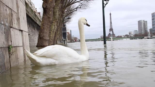 flood in paris 2018, swan - swan stock videos & royalty-free footage