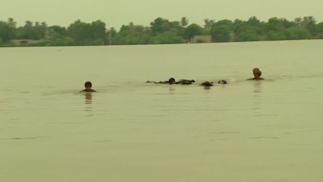 flood victims attempt to swim across river with a small herd of cattle following severe rains and flooding - pakistan stock videos and b-roll footage