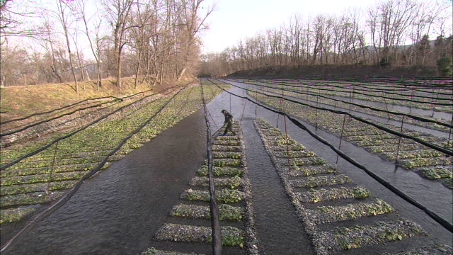 flooded streams irrigate a wasabi field where a farmer works. - wasabi stock videos and b-roll footage