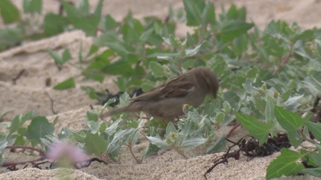 flora and fauna on isles of scilly during lockdown; england: isles of scilly: st mary's: ext various of ducks on porthcressa beach amongst sea rocket... - isles of scilly stock videos & royalty-free footage