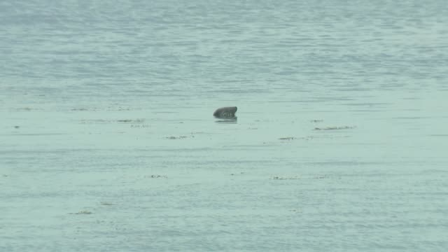 flora and fauna on isles of scilly during lockdown; england: isles of scilly: st mary's: ext atlantic grey seal in the water off porthcressa beach/... - isles of scilly stock videos & royalty-free footage