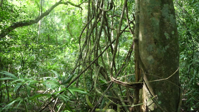 flores, tikal -a maze of lianas in the rainforest - mayan stock videos & royalty-free footage