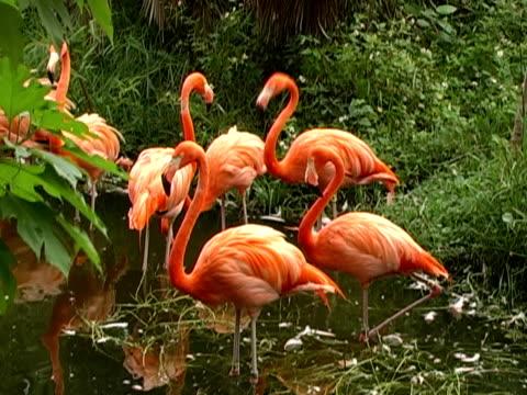 stockvideo's en b-roll-footage met florida flamingos - 2007
