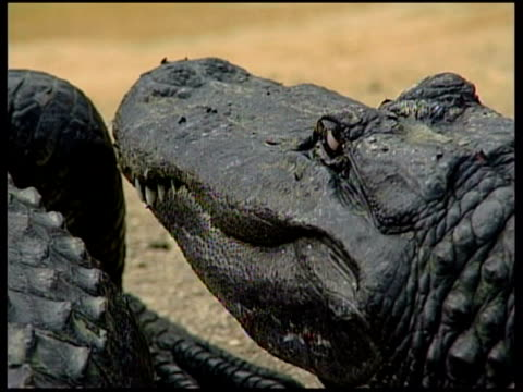 florida city alligator farm usa florida florida city everglades alligator farm ext general views alligators by pool at farm / general views... - parco nazionale delle everglades video stock e b–roll