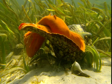 a florida horse conch extends its mantle over its shell. - 軟体動物点の映像素材/bロール