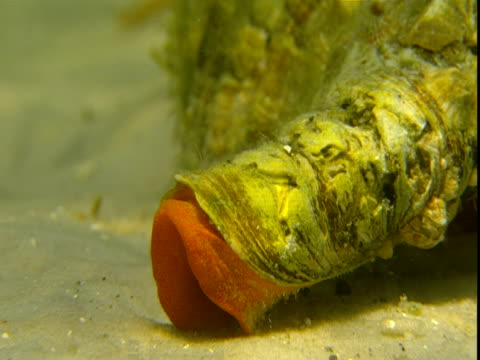 a florida horse conch uses its siphon as it forages along a sandy seabed. - animal shell stock videos & royalty-free footage