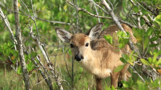 florida key deer - the florida keys stock videos & royalty-free footage