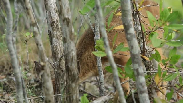 florida key deer - white tailed deer stock videos & royalty-free footage