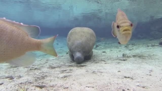 florida manatee and fish