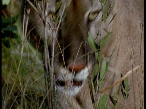 florida panther walks away, florida - bbc stock videos and b-roll footage