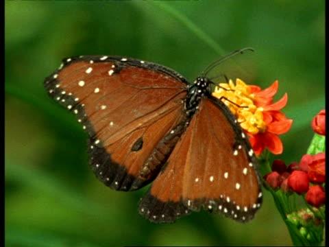 vídeos y material grabado en eventos de stock de cu florida queen butterfly (danaus gilippus) male feeding on flowers, usa - patrones de colores
