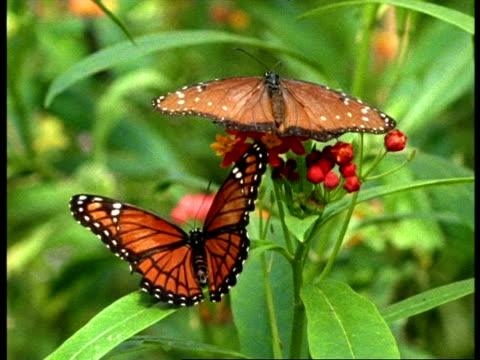 vídeos y material grabado en eventos de stock de mcu florida queen butterfly (danaus gilippus) & viceroy butterfly (limenitis archippus) resting on plant, usa - patrones de colores
