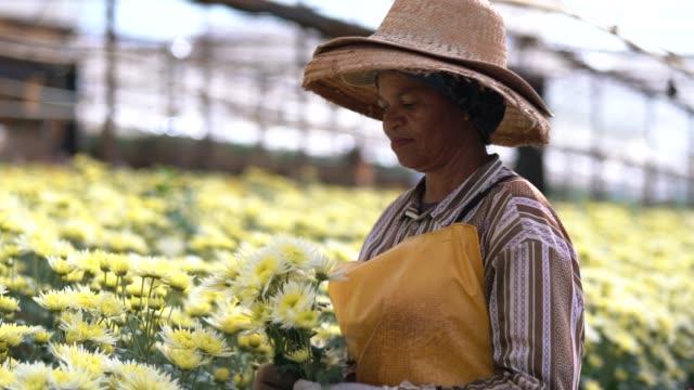 vídeos de stock, filmes e b-roll de mulher de florista que trabalha na estufa em holambra, são paulo, brasil - trabalho comercial