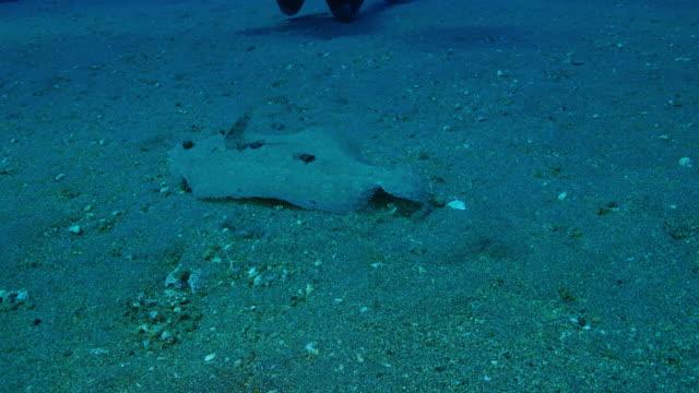 flounder flatfish swimming - flat fish stock videos and b-roll footage
