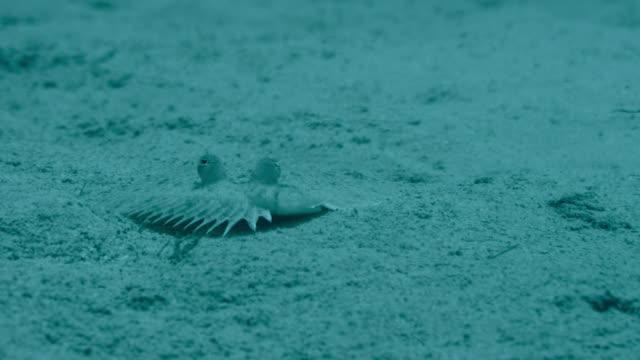 flounder flatfish swims away, japan - flounder stock videos & royalty-free footage