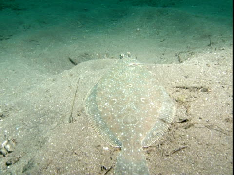 a flounder glides over a sandy seabed. - flounder stock videos & royalty-free footage