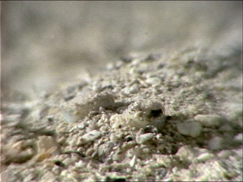 a flounder hides on a sandy seabed. - flounder stock videos & royalty-free footage