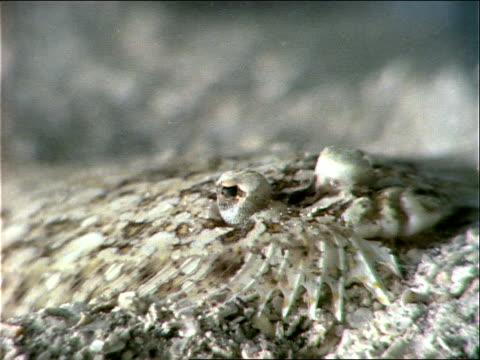 a flounder hides on the ocean floor. - flounder stock videos & royalty-free footage